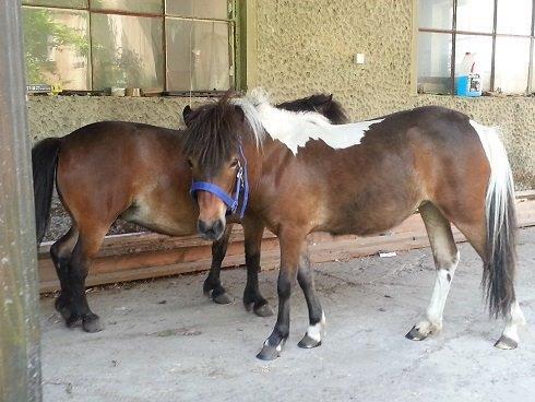 koń miniaturowy
