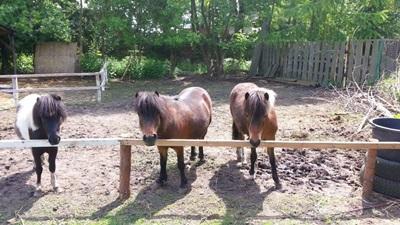 miniaturowe konie AMHA